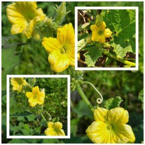 bunga barteh