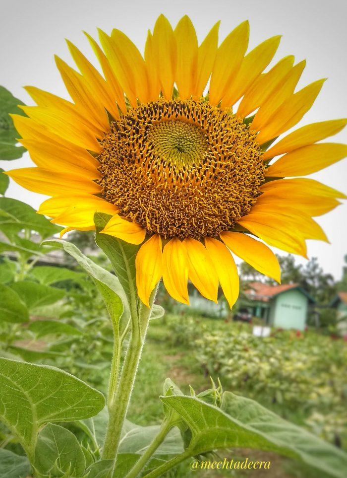 Bunga Matahari di kebun