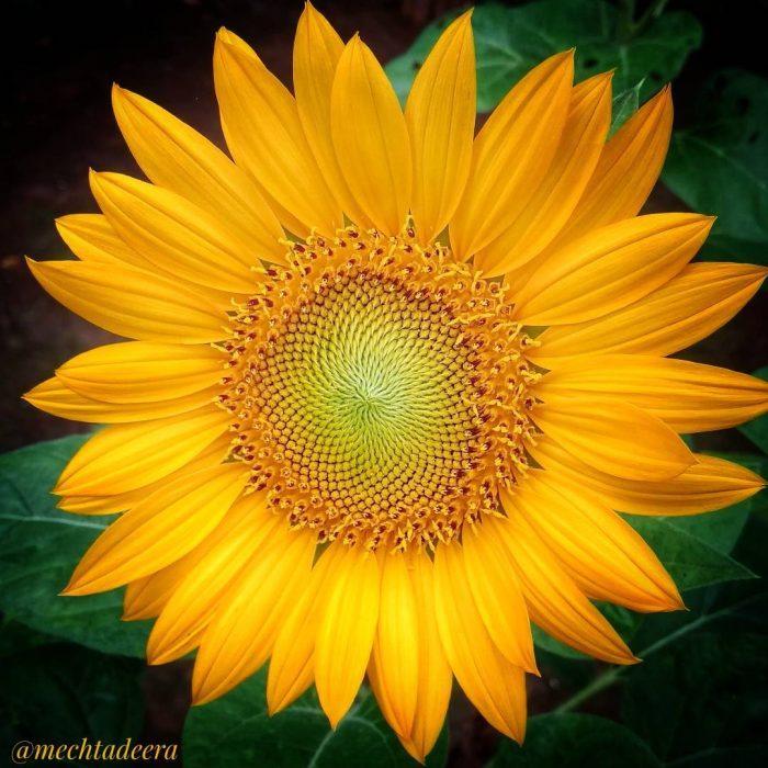 Bunga Matahari mekar