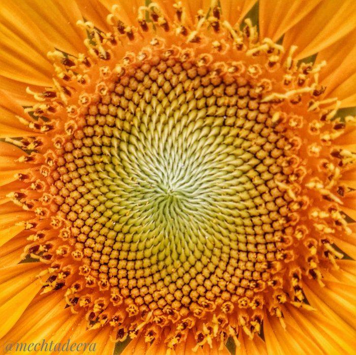 Bunga Matahari termasuk bunga majemuk