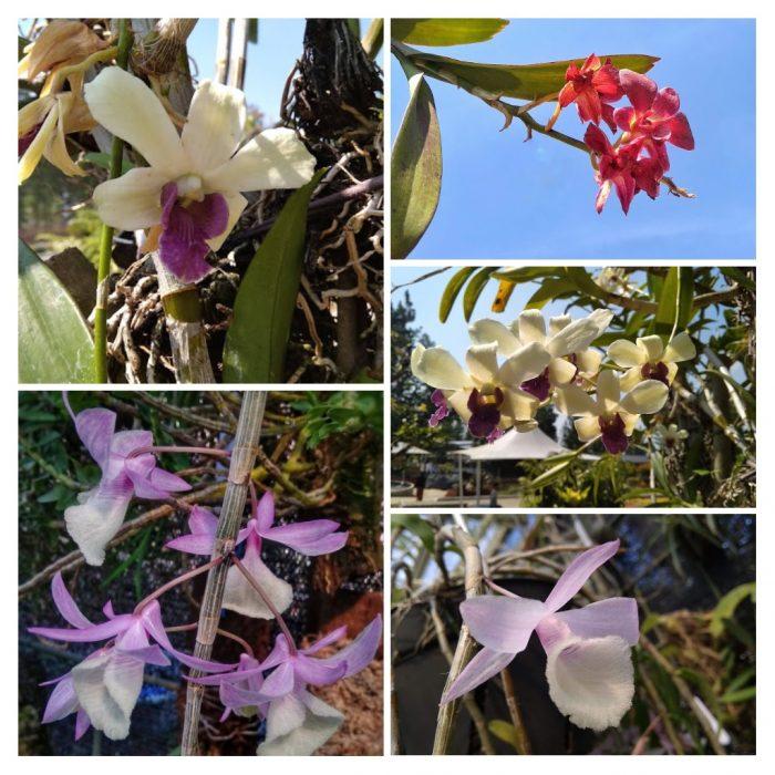 Dendrobium di Wisata Taman Anggrek Guci