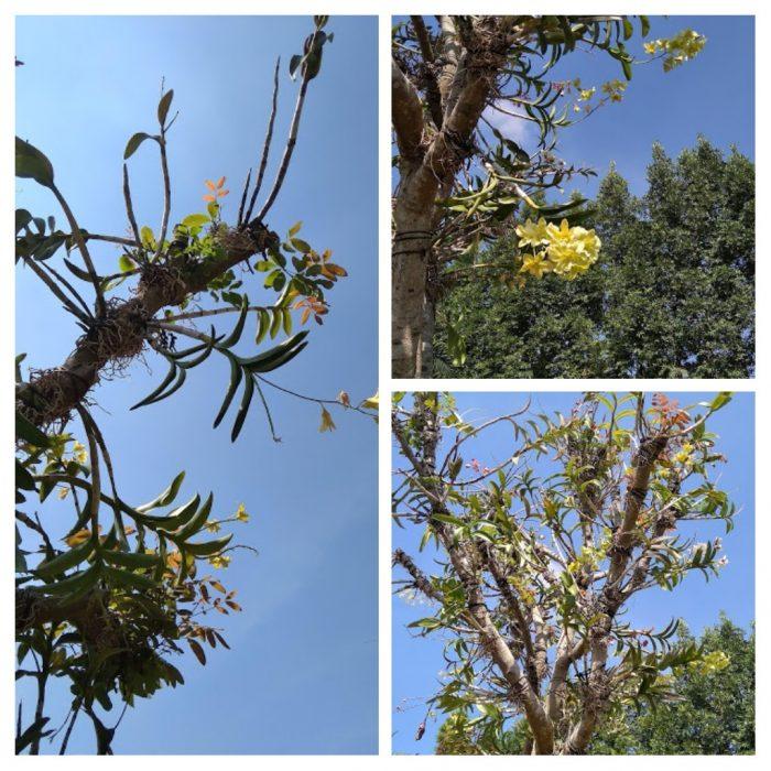 Anggrek di pohon inang