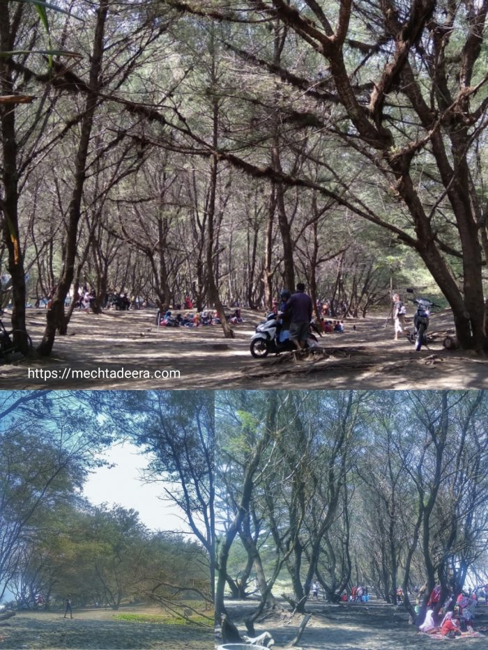 Pohon Cemara Udang di Pantai Goa Cemara