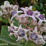 Bunga Biduri