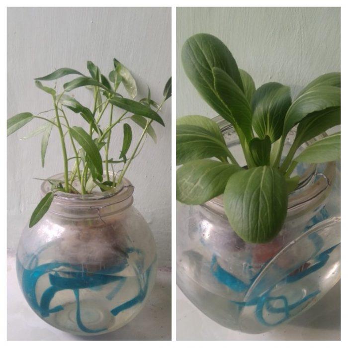 Bertanam sayur di Pot hidroponik stoples kaca