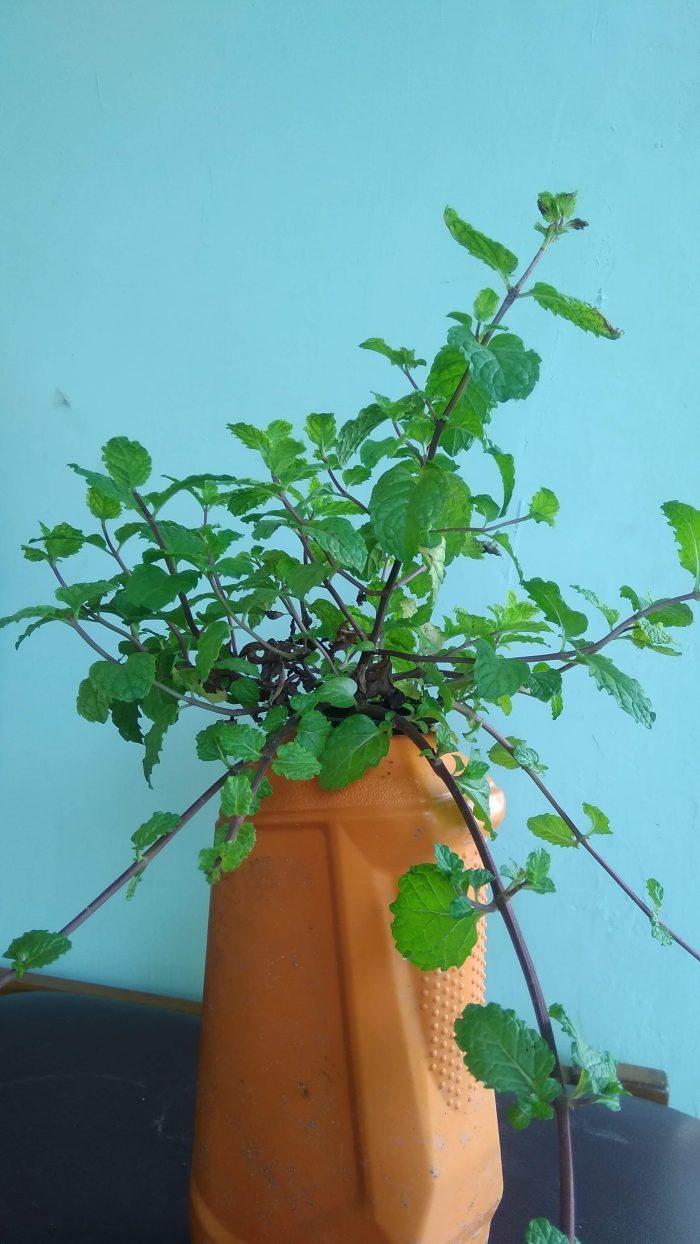 Peppermint hidroponik