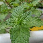 Daun Mint ( Mentha piperita L.)