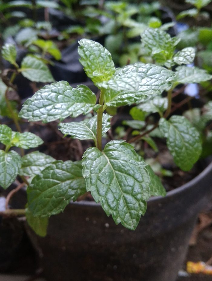 Daun Mint dalam pot