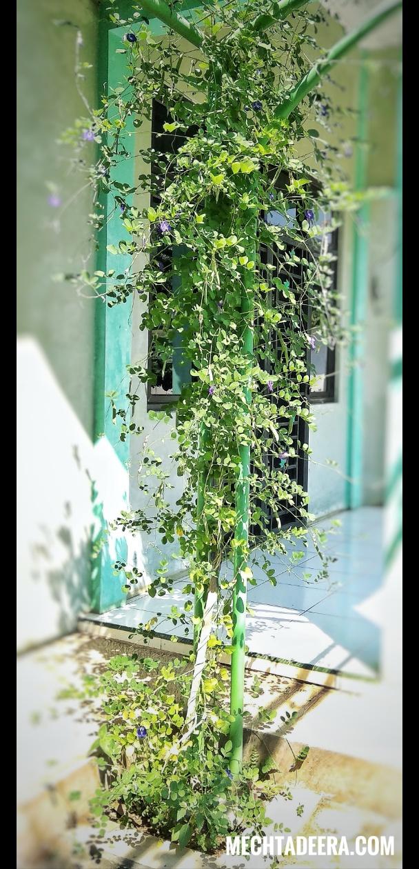 Pohon Telang