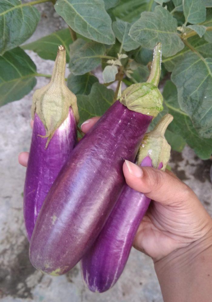Terong ungu