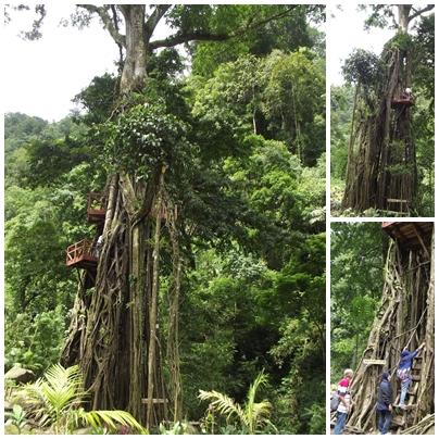 Pohon Bulu Nangka Th 2016