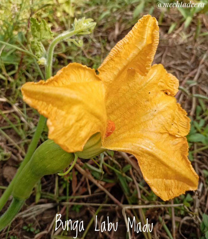 Bentuk bunga Labu Madu