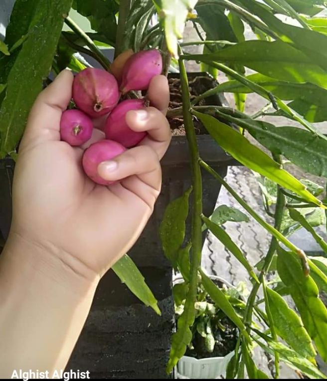 Bentuk buah Wijaya Kusuma