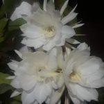 Bunga Wijaya Kusuma sedang mekar